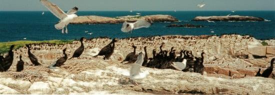 Seagulls harassing cormorants