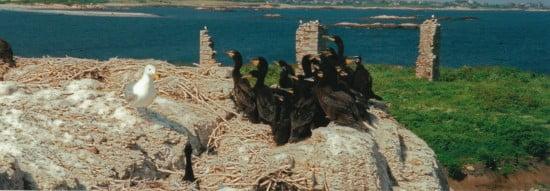 Huddled mass of cormorants
