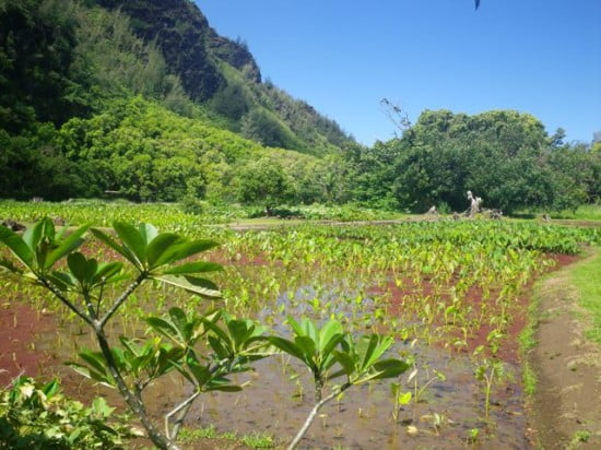 Taro plantation on the lo'i