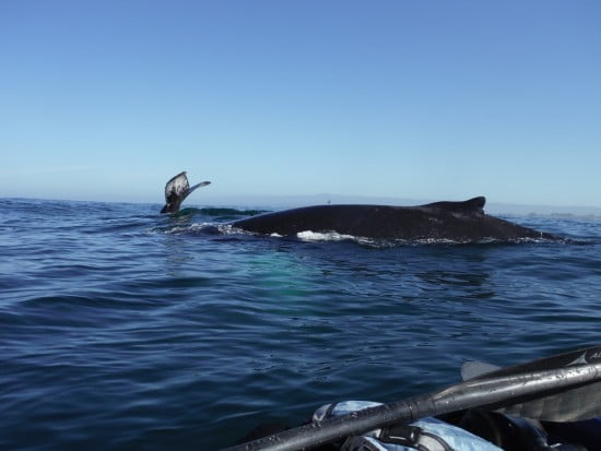 Humpbacks at the sactuary