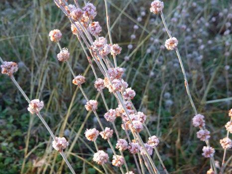 Eriogonum roseum - wand buckwheat