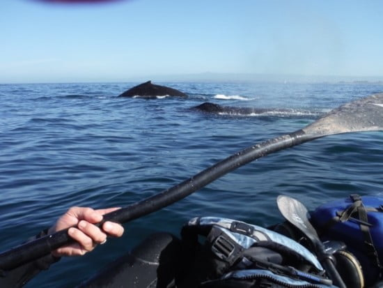 Paddling with humpbacks at the sanctuary