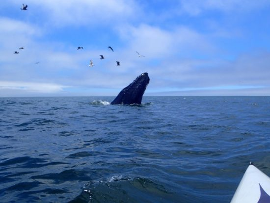A spyhopping whale imitates a periscope.