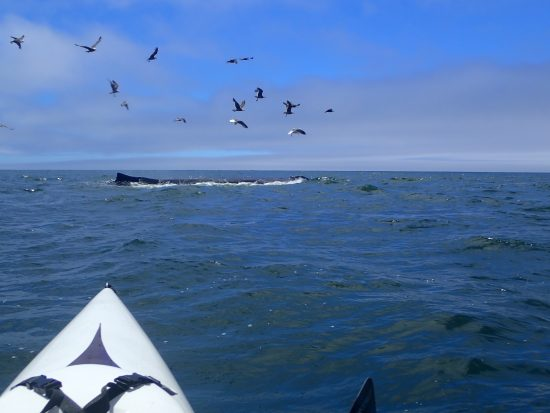 One of the great privileges of sea kayaking is the opportunity to witness such miracles.