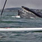 A whale surfacing near a paddleboarder - eek, pretty close!