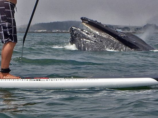 A whale surfacing near a paddleboarder - eek, pretty close!