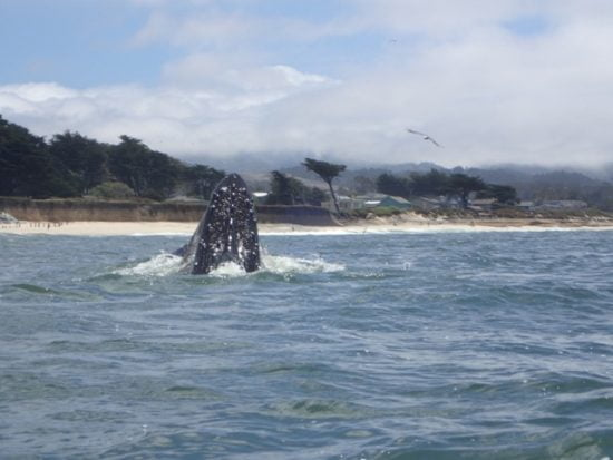 A humpback feeding off the southern end of Surfer's Beach, Half Moon Bay, CA