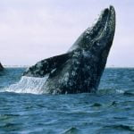 I borrowed this image by Konraad Wothe from the National Geographic website on gray whales