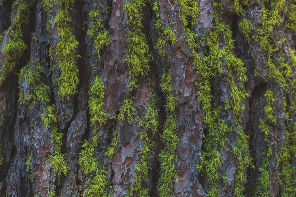 Moss doesn't always grow on the north side of trees, but observing what side it does grow on can help you find your wayAC